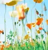 ポピーの花畑と青い空