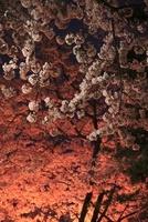 小田原城址公園の夜桜
