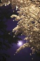 小田原城址公園の夜桜と月