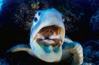 口を開けたアオウミガメ