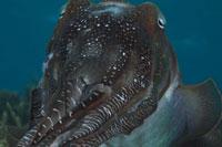 コブシメの顔アップ