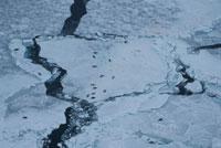流氷の上のタテゴトアザラシ