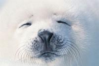 タテゴトアザラシの子供の顔アップ