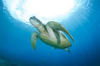 泳ぐアオウミガメ