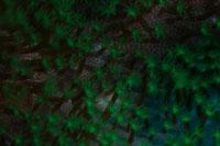 イソギンチャクのポリプ