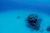 サンゴ礁に群れる魚