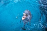 水面で口を開けるバンドウイルカ