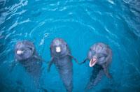 水面でこちらを向く3頭のバンドウイルカ