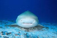 トラフザメの正面顔