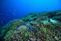 サンゴ礁の群棲 エダサンゴ