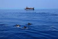 水面を泳ぐハシナガイルカとドーニ 02351001621| 写真素材・ストックフォト・画像・イラスト素材|アマナイメージズ