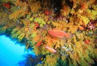 黄色いサンゴの群棲とユカタハタ