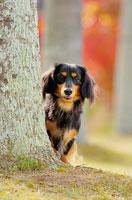 木のかげから覗くミニチュアダックス犬 02359000004| 写真素材・ストックフォト・画像・イラスト素材|アマナイメージズ