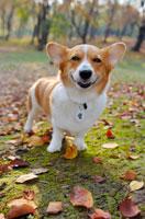 落葉とコーギー犬 02359000015| 写真素材・ストックフォト・画像・イラスト素材|アマナイメージズ