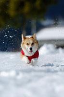 雪の上を走るコーギー 02359000023| 写真素材・ストックフォト・画像・イラスト素材|アマナイメージズ
