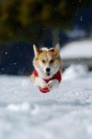 雪の上を走るコーギー 02359000023A| 写真素材・ストックフォト・画像・イラスト素材|アマナイメージズ