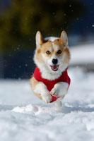 雪の上を走るコーギー 02359000023B| 写真素材・ストックフォト・画像・イラスト素材|アマナイメージズ