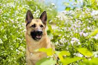 緑と花の中のシェパード犬