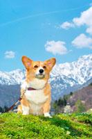 北アルプスとコーギー犬 02359000041| 写真素材・ストックフォト・画像・イラスト素材|アマナイメージズ