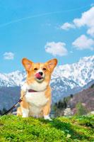 北アルプスとコーギー犬 02359000041A| 写真素材・ストックフォト・画像・イラスト素材|アマナイメージズ