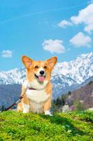 北アルプスとコーギー犬 02359000041B| 写真素材・ストックフォト・画像・イラスト素材|アマナイメージズ