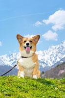 北アルプスとコーギー犬 02359000041C| 写真素材・ストックフォト・画像・イラスト素材|アマナイメージズ