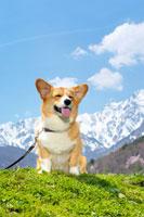 北アルプスとコーギー犬 02359000041D| 写真素材・ストックフォト・画像・イラスト素材|アマナイメージズ