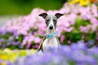 花の中のイタリアングレーハウンド犬