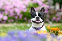 花の中のフレンチブルドッグ犬 02359000061| 写真素材・ストックフォト・画像・イラスト素材|アマナイメージズ