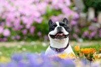 花の中のフレンチブルドッグ犬 02359000061A| 写真素材・ストックフォト・画像・イラスト素材|アマナイメージズ