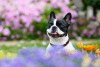 花の中のフレンチブルドッグ犬 02359000061B| 写真素材・ストックフォト・画像・イラスト素材|アマナイメージズ
