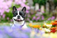 花の中のフレンチブルドッグ犬 02359000061C| 写真素材・ストックフォト・画像・イラスト素材|アマナイメージズ