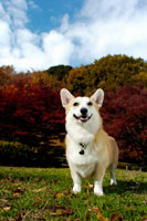 紅葉とコーギー犬 02359000066| 写真素材・ストックフォト・画像・イラスト素材|アマナイメージズ