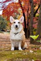紅葉とコーギー犬 02359000067| 写真素材・ストックフォト・画像・イラスト素材|アマナイメージズ