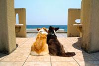 海を眺める2頭のコーギー 02359000087| 写真素材・ストックフォト・画像・イラスト素材|アマナイメージズ