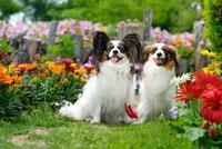 花とパピヨン犬2頭