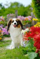 花とパピヨン犬