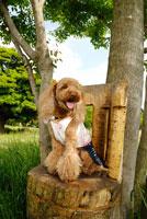 木の椅子に座るトイプードル犬