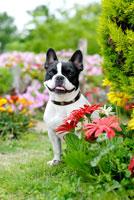 花とフレンチブルドック犬