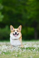 シロツメクサの花とコーギー犬 02359000105| 写真素材・ストックフォト・画像・イラスト素材|アマナイメージズ