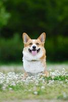 シロツメクサの花とコーギー犬 02359000106| 写真素材・ストックフォト・画像・イラスト素材|アマナイメージズ