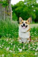 シロツメクサの花とコーギー犬 02359000107| 写真素材・ストックフォト・画像・イラスト素材|アマナイメージズ