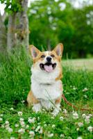 シロツメクサの花とコーギー犬 02359000108| 写真素材・ストックフォト・画像・イラスト素材|アマナイメージズ