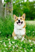 シロツメクサの花とコーギー犬 02359000109| 写真素材・ストックフォト・画像・イラスト素材|アマナイメージズ