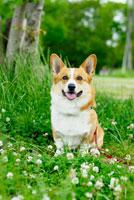 シロツメクサの花とコーギー犬 02359000110| 写真素材・ストックフォト・画像・イラスト素材|アマナイメージズ
