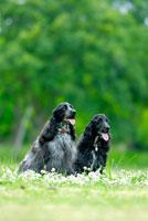 緑の中のイングリッシュコッカースパニエル犬2頭