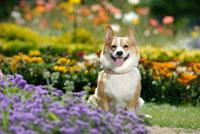花壇の中のコーギー犬