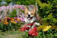 花とコーギー犬 02359000114| 写真素材・ストックフォト・画像・イラスト素材|アマナイメージズ