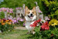 花とコーギー犬