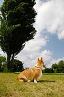 公園で座るコーギー犬